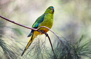 Orange-bellied Parrot (Neophema chrysogaster). Male resting in scrub pines. Werribee Sewerage Farm, Victoria, Australia  -  Roger Powell