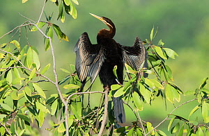 Oriental darter (Anhinga melanogaster) perched in small eucalyptus tree & drying water-logged plumage. Fogg Dam, Northern Territory, Australia - Roger Powell