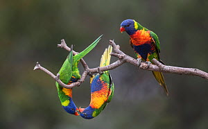 Three rainbow lorikeets (Trichoglossus moluccanus) displaying to each other on a branch. Werribee, Victoria, Australia. - Roger Powell