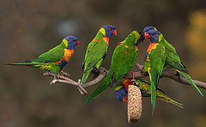 Six rainbow lorikeets (Trichoglossus moluccanus) competing for food hanging from a branch. Werribee, Victoria, Australia. - Roger Powell