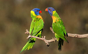 Two rainbow lorikeets (Trichoglossus moluccanus) displaying to each other on a branch. Werribee, Victoria, Australia. - Roger Powell