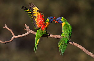 Two rainbow lorikeets (Trichoglossus moluccanus) arguing on a branch. Werribee, Victoria, Australia. - Roger Powell