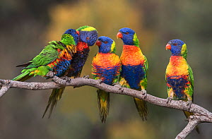 Five rainbow lorikeets (Trichoglossus haematodus) courting & pairing on a branch. Werribee, Victoria, Australia.  -  Roger Powell