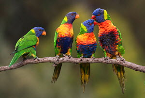 Four rainbow lorikeets (Trichoglossus haematodus) courting and pairing on a branch. Werribee, Victoria, Australia.  -  Roger Powell