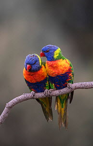 Two rainbow lorikeets (Trichoglossus moluccanus) huddling together on a branch. Werribee, Victoria, Australia. - Roger Powell