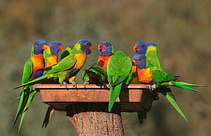Flock of Rainbow lorikeets (Trichoglossus moluccanus) squabbling and feeding at a garden feeding station. Werribee, Victoria, Australia.  -  Roger Powell