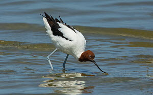 Red-necked avocet (Recurvirostra novaehollandiae) feeding on the shore amongst small waves. Point Wilson, Port Phillip Bay, Victoria, Australia - Roger Powell