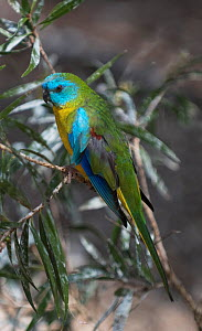 Scarlet-breasted parrot (Neophema splendida) on a branch, Cleland, South Australia, Australia  -  Roger Powell