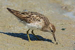 Sharp-tailed sandpiper (Calidris acuminata) in winter plumage, feeding along the tideline,  Point Wilson, Port Phillip Bay, Victoria, Australia. - Roger Powell