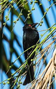 Spangled drongo (Dicrurus bracteatus) singing over its nest site in a Palm Tree. Mary River Park, Northern Territory, Australia.  -  Roger Powell