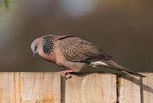 Spotted turtle-dove (Streptopelia chinensis) male in full courtship display on a garden fence. Werribee, Victoria, Australia - Roger Powell