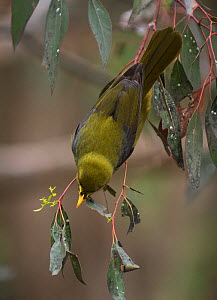 Bell miner (Manorina melanophryx) hunting for insects in a eucalyptus tree. Melbourne, Victoria, Australia  -  Roger Powell