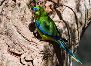 Blue-winged Parrot (Neophema chrysostoma) on an old tree stump, Werribee Sewerage Farm, Victoria, Australia  -  Roger Powell