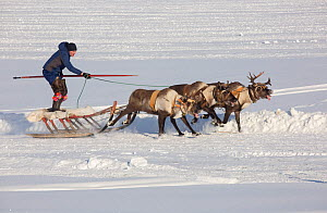 Komi man racing his reindeer while standing up on his sled during a reindeer herders' festival in Saranpaul. Khanty-Mansiysk, Western Siberia, Russia - Bryan and Cherry Alexander
