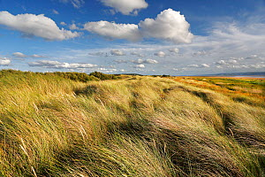 Marram grass (Ammophila arenaria) on dunes, mouth of the Dee Estuary, looking south towards West Kirby, Wirral, UK, August.  -  Alan  Williams