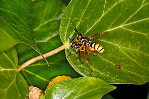 Thick-headed Fly (Leopoldius signatus of family Conopidae) pair mating on Ivy (Hedera helix) leaf Cheshire UK September 59749 - Alan  Williams