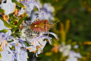 Hairy dhieldbug (Dolycoris baccarum) on Rosemary (Rosmarinus officinalis) flower in garden, Cheshire, UK, April.  -  Alan  Williams