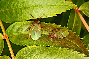 Hawthorn shieldbug (Acanthosoma haemorrhoidale) nymphs resting on Rowan Tree (Sorbus) leaves in garden Cheshire, UK, October.  -  Alan  Williams