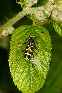 Wasp beetle (Clytus arietis) resting on leaf in woodland Cheshire, UK, June.  -  Alan  Williams
