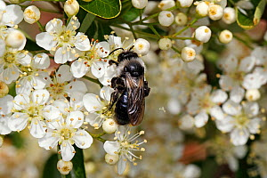 Grey-haired mining bee (Andrena cineraria) feeding on Cotoneaster flowers in garden, Cheshire, UK, June. - Alan  Williams