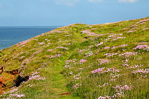 Thrift (Armeria maritima) growing on Hilbre Island. Mouth of the Dee Estuary. Wirral UK, May 2016. - Alan  Williams