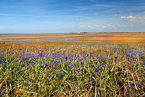 Bluebells (Endymion non-scriptus) growing on Little Hilbre Island situated in the mouth of the Dee Estuary, Wirral, UK. May. - Alan  Williams