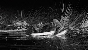 Eurasian beaver (Castor fiber) adding a branch to its dam, Tayside, Scotland, UK, May. Filmed at night using a remote camera and infra red light.  -  Nick Upton
