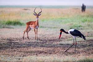 Female Saddle-billed stork (Ephippiorhynchus senegalensis) foraging and alert Impala (Aepyceros melampus), Masai Mara Game Reserve, Kenya. - Denis-Huot