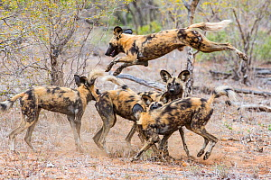 Pack of African wild dogs (Lycaon pictus) playing, Motswari Game Reserve, South Africa. - Denis-Huot
