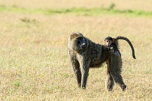 Olive baboon (Papio anubis) female carrying her infant on her back, Masai Mara Game Reserve, Kenya. - Denis-Huot