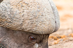Close up of male African buffalo (Syncerus caffer) head showing the 'boss' where the base of the horns are fused together, Sabi Sands Private Game Reserve, South Africa.  -  Denis-Huot