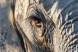Close up of an African elephant (Loxodonta africana) eye showing long eyelashes, Sabi Sands Game Reserve, South Africa.  -  Denis-Huot
