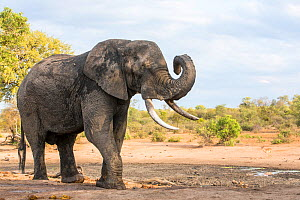 African elephant (Loxodonta africana) bull drinking at a waterhole, Sabi Sands Game Reserve, South Africa.  -  Denis-Huot