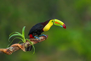 Keel-billed toucan (Ramphastos sulfuratus) adult  sitting on branch. North Costa Rica  -  Melvin Grey
