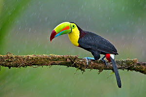 Keel-billed toucan (Ramphastos sulfuratus) adult male in rain. North Costa Rica.  -  Melvin Grey