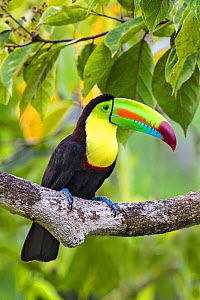 Keel-billed toucan (Ramphastos sulfuratus) adult sitting in rainforest tree. North Costa Rica.  -  Melvin Grey