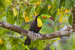 Keel-billed toucan (Ramphastos sulfuratus) adult   calling from rainforest tree. North Costa Rica.  -  Melvin Grey