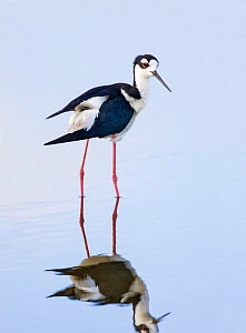 Black-necked stilt (Himantopus mexicanus) adult male finishing preening. Wakodahatchee Wetlands, Florida, USA. May.  -  Melvin Grey