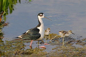 Black-necked stilt (Himantopus mexicanus) adult and three young,  two on floating weed and one underneath adult, buried in the brood patch. Wakodahatchee Wetlands, Florida, USA. May.  -  Melvin Grey