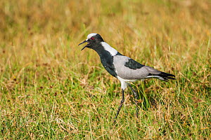 Blacksmith plover (Vanellus armatus) adult calling in  grassland. Showing spurs on carpal wing joints. Ndutu, Tanzania  -  Melvin Grey
