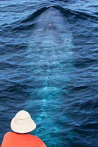 Blue whale (Balaenoptera musculus) person watching from boat, Sea of Cortez, Gulf of California, Baja California, Mexico, February, endangered species  -  Mark Carwardine