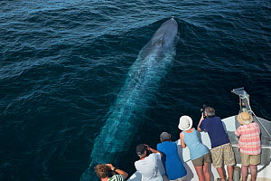 Blue whale (Balaenoptera musculus) people watching from boat, Sea of Cortez, Gulf of California, Baja California, Mexico, February, endangered species  -  Mark Carwardine