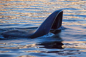 Blue whale (Balaenoptera musculus) lunging through school of krill at the surface at sunset, Sea of Cortez, Gulf of California, Baja California, Mexico, February, endangered species  -  Mark Carwardine
