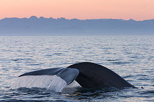 Blue whale (Balaenoptera musculus) fluking / diving, Sea of Cortez, Gulf of California,), Baja California, Mexico, March  -  Mark Carwardine