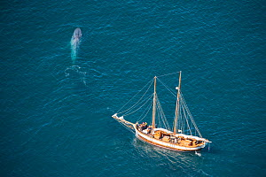 Blue Whale (Balaenoptera musculus)Aerial - with whale watching boat - Endangered SpeciesSkjalfandi Bay, northern Iceland - Mark Carwardine