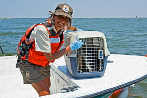 Brown pelican (Pelecanus occidentalis) oiled bird being rescued for cleaning during Deepwater Horizon oil spill, Louisiana, Gulf of Mexico, USA, August 2010  -  Mark Carwardine