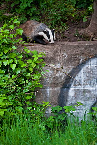 Eurasian / European badger (Meles meles) outside urban sett behind wall with graffiti, Bristol, UK May - Mark Carwardine