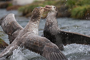 Northern giant petrel (Macronectes halli) fighting over dead seal carcass, Gold Harbour, South Georgia, November  -  Mark Carwardine