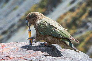 Kea (Nestor notabilis) with stolen pen, Arthur's Pass, Southern Alps, South Island, New Zealand, June, threatened species.  This is a notorious, mountain-dwelling parrot and one of the most intelligen...  -  Mark Carwardine
