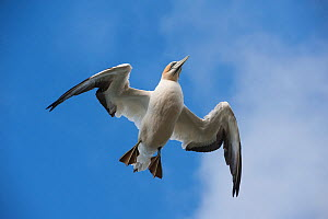 Australasian gannet / Takapu (Morus serrator) flying overhead, Muriwai gannet colony, Auckland, North Island, New Zealand, June  -  Mark Carwardine